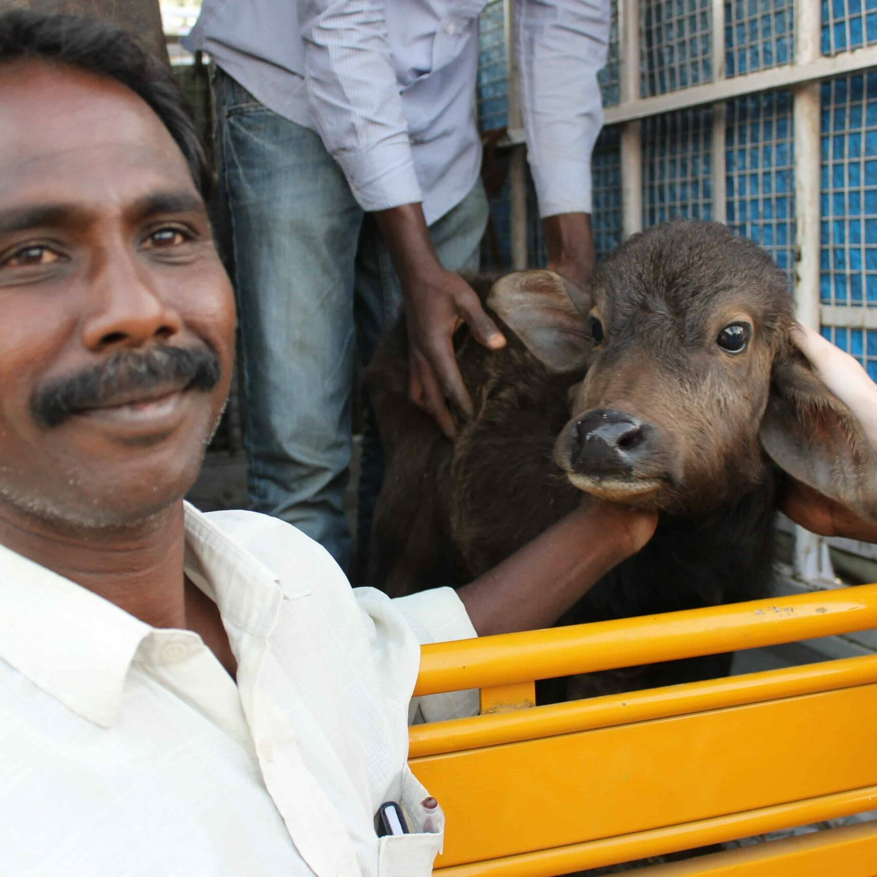 Cow_450